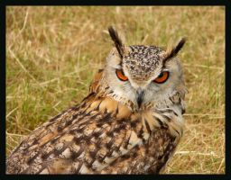 Indian Eagle Owl by Hozzell