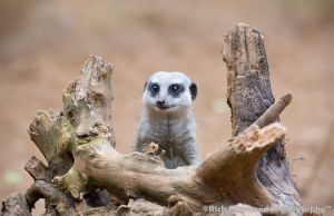 Meerkat 169 13a by mym8rick