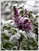 Spring Snow by TRBPhotographyLLC