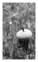 Reminiscence of a Dandelion by rickxard