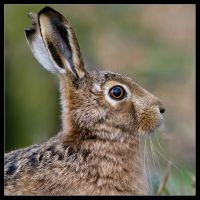 Harry the Hare by MessiahKhan
