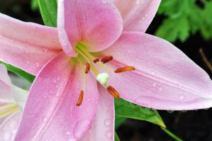 Refreshing pink lily by snoogaloo
