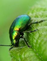 Green Dock Beetle by iriscup