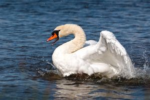 Swan Song by plangdon2