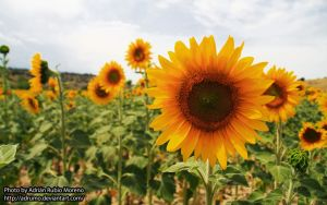 Flower of the Sun by adrumo