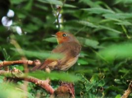 In The Undergrowth - European Robin by Oddity-1991