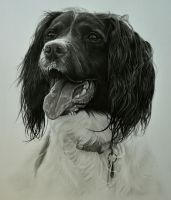 Commission - English Springer Spaniel 'Guss' by Captured-In-Pencil