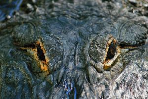 Alligator Close-up by mydigitalmind