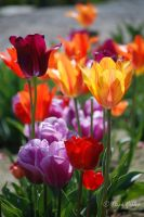 Tulips 1 by StephGabler