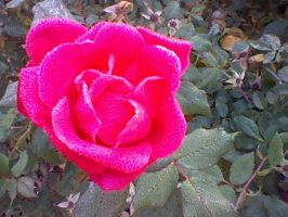 Hot Pink Rose by mayzy167