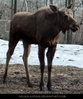 Moose 5 by SalsolaStock