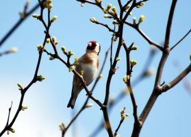 Goldfinch 2 by Mark-Allison