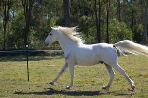 Horse stock - Mane flowing by Chunga-Stock