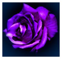 Purple Petals by Eternal-Polaroid