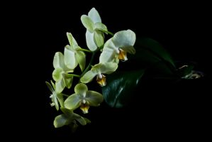 orchid All Open by tea