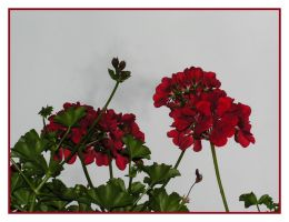 Pelargonium - Suisse 15 by aquamen1983