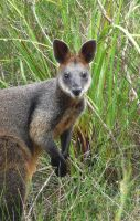 Swamp Wallaby by skadieverwinter