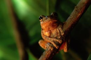 Tree Frog-1 by jbrum