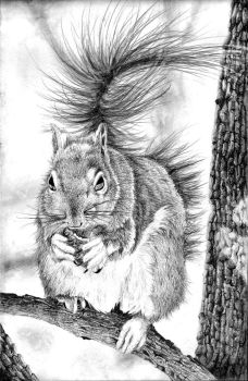 Squirrel Pencil Drawing by BannanaPower