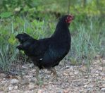 Chicken 21 by MountainViewStock