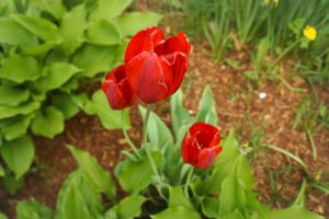 Just red tulips by AlineShamrock