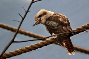 Laughing Kookaburra by mayza8888