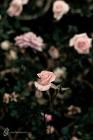 Beauty Stands in Many by fahadee