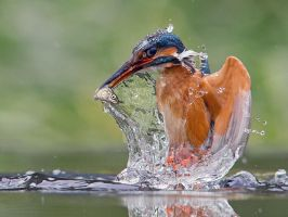 Liquid lunch - Common Kingfisher by Jamie-MacArthur