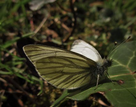 Green-veined White by Calidris555