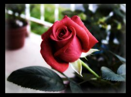 A Beautiful Rose by chromosphere