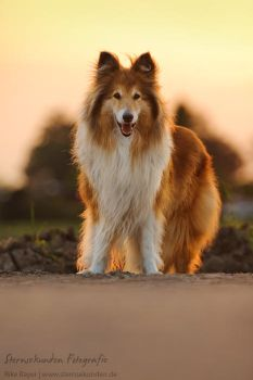Rough Collie by unfrozenduck
