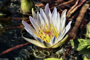 Water Lily by MacroMagnificent