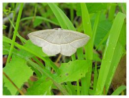 Menard Moth by Cillana