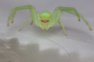 Crab spider on a Subway bag :-) by CyclicalCore