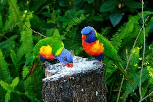 rainbow lorikeet by Sweet-Shutter-Bug