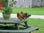 Two Hens on a Picnic Table 3 by Windthin