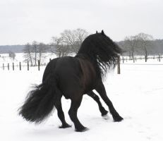 huch ... friesian scared by Nexu4