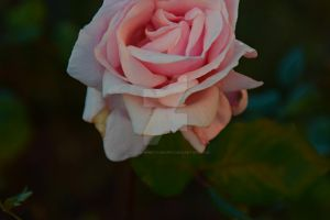 Soft pink by KayleighBPhotography