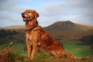 Golden Retriever with Sheepstor by VerumSYL