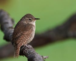 House Wren perched by JestePhotography