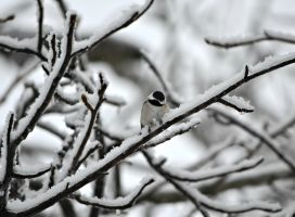 Winter Chickadee by jennalynnrichards