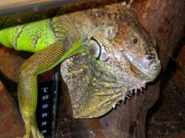 green iguana by Cab-GdL
