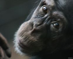 Chimpanzee 4 by Globaludodesign