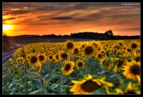 Sunflower Sunset by stetre76