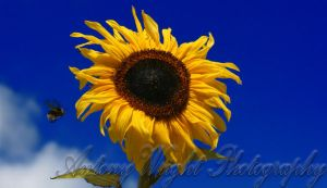 Sunflower2 by Garr52