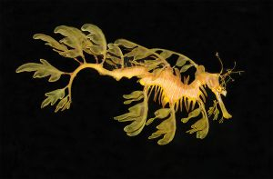 Sea Dragon - Leafy sea dragon (Phycodurus eques) by Jamie-MacArthur