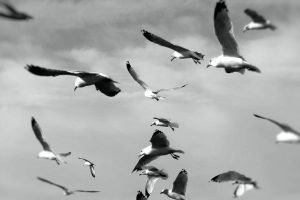 Seagulls in Grey by tracy-Me