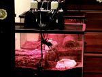HUGE Curly Hair Tarantula Under Red Bulb 1 by AndPlusAmpersandAlso