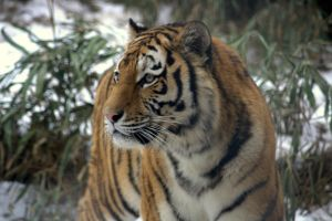 Siberian Tigress by DaisyreeB