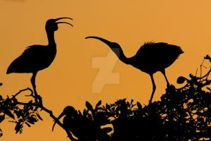 White Ibis Silhouette by datfly